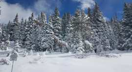 Snow covered pine trees